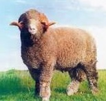 Domba rambouillet jenis domba penghasil daging dan bulu