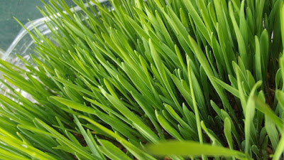 jus, jus rumput gandum, jus sehat, jus wheatgrass, manfaat jus, manfaat minum jus, nutirisi, rumput gandum, wheatgrass,
