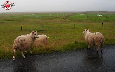 Ovejas en Islandia