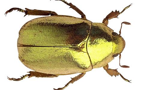 Buprestidae jewel beetle with metallic golden appearance