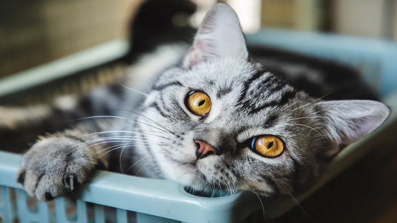 Peut-on apprivoiser un chat sauvage