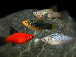 foto ikan platy