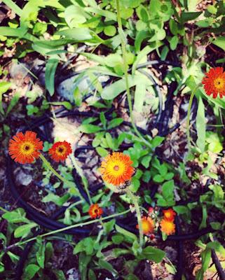Oranssivoikeltanon kukat kasvaa mykeröissä