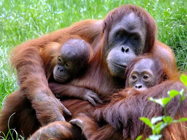 Orangutan Nyaris Mirip Manusia