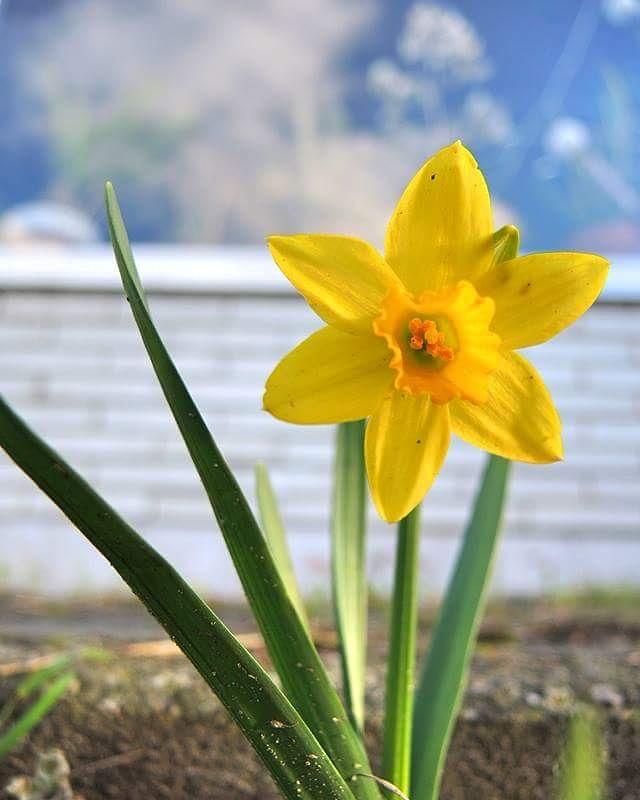 in mijn tuintje - - narcis