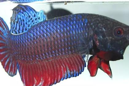 5 Jenis Ikan Cupang Adu Paling Terkenal