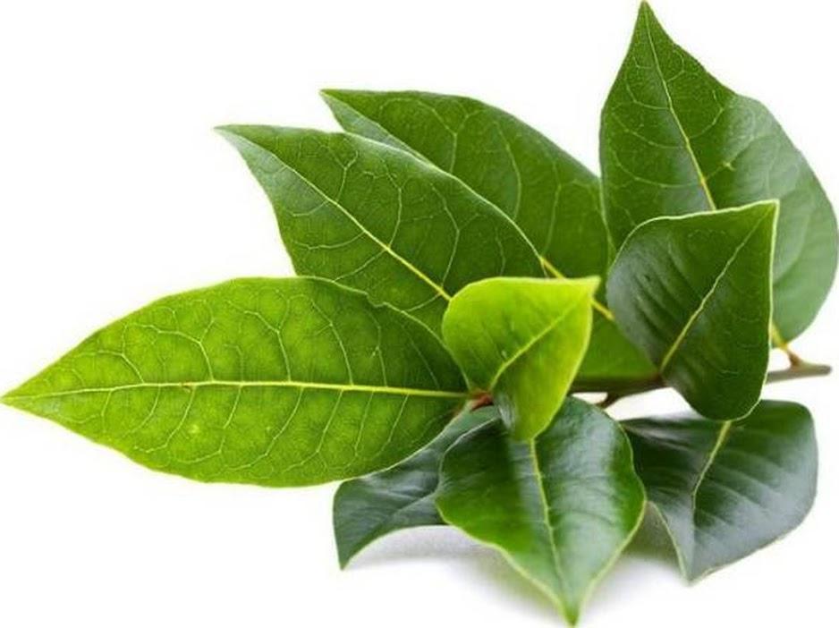 Bibit tanaman daun salam Tangerang Selatan