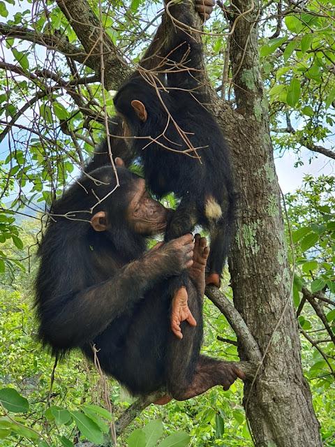 Trekking com chimpanzés na Tanzânia: safari no Gombe Stream National Park