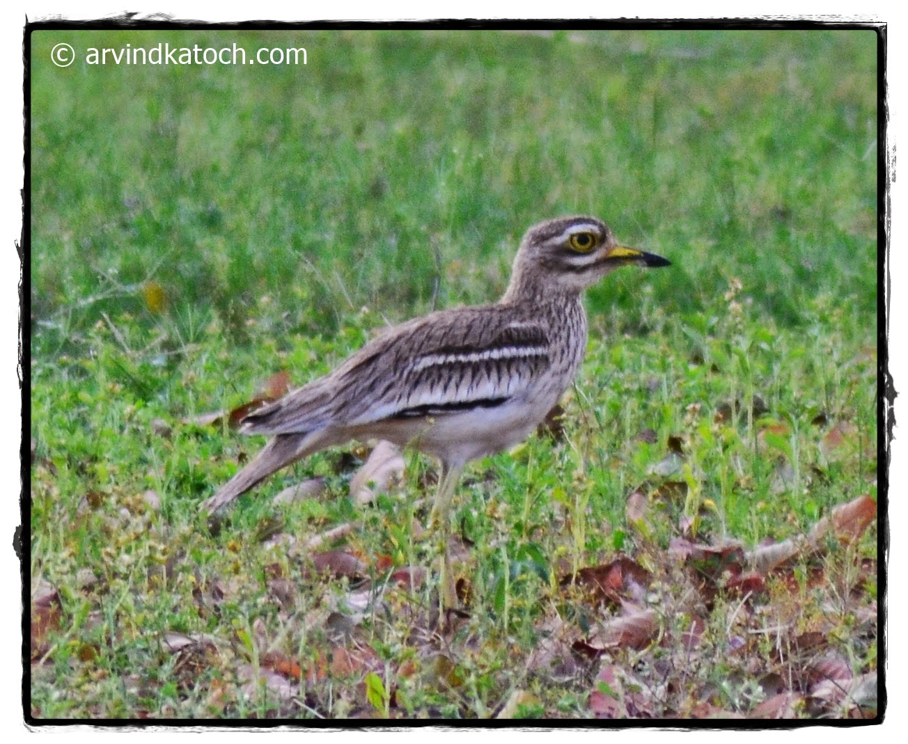 Eurasian stone-curlew, male