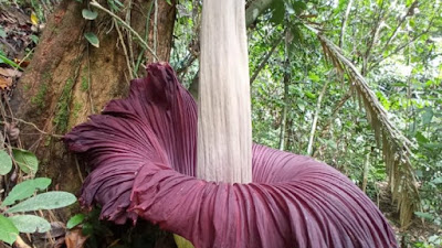 Hutan Simaruok Diprediksi Sebagai Habitat Bunga Bangkai