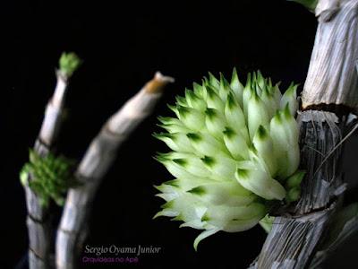 Dendrobium purpureum album