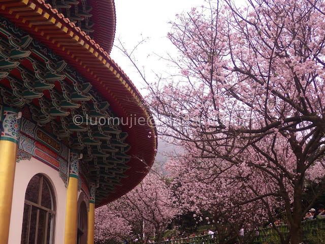 Taiwan cherry blossoms
