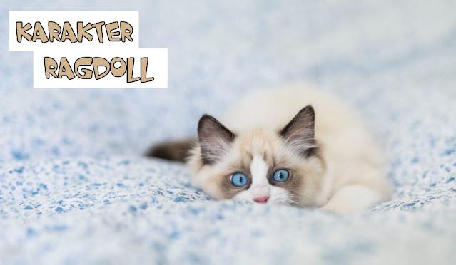 Karakter Kucing Ragdoll