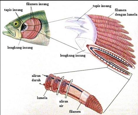 organ ingsang ikan