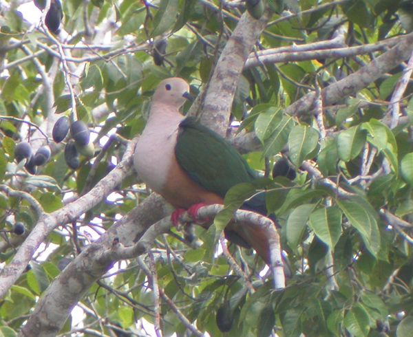 Burung yang masih termasuk dalam keluarga burung merpati ini dikenal juga dengan nama int Mengenal Burung Pergam Boke