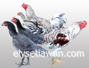 ayam kampung unggul hibrida