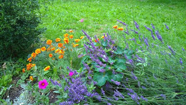 Goldmohn, Cistus, Lavendel und Purpurwitwenblume (c) by Joachim Wenk