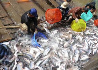 Xuất khẩu cá tra phải đối mặt với một loạt khó khăn