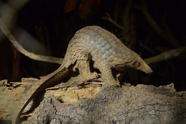 China in biggest-ever pangolin scale seizure: reports