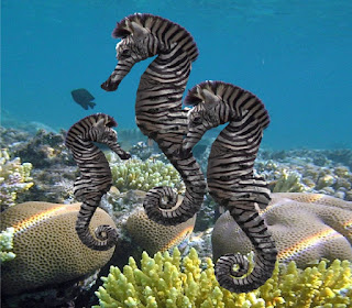 http://www.allfiveoceans.com/2016/11/zebra-seahorse.html