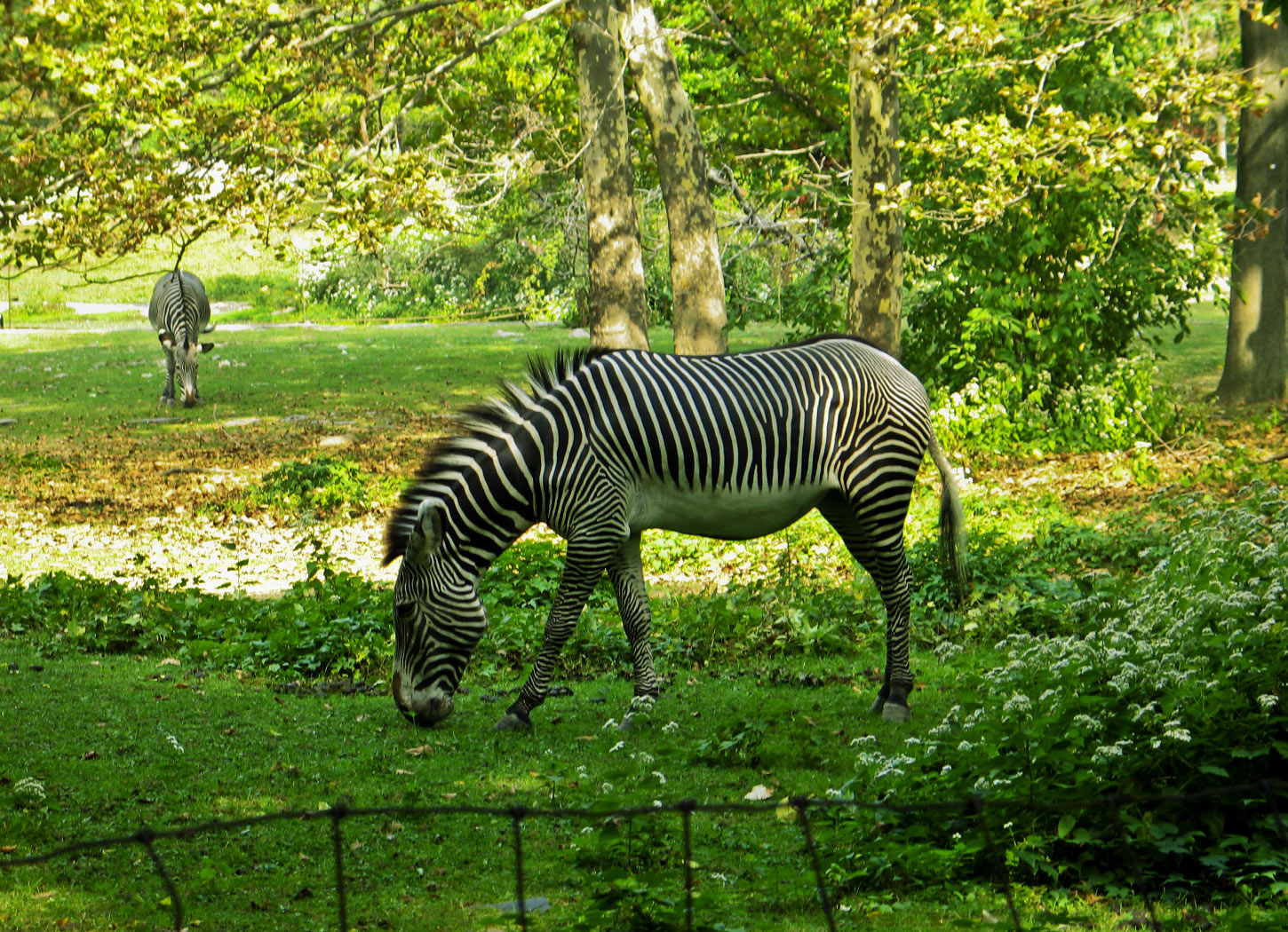 Zebra wallpaper, zebra wallpapers | Amazing Wallpapers