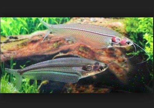 Ikan Lele Kaca dan Cara Merawatnya