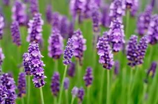 harga bunga lavender,arti bunga lavender kumpulan tips,artikel bunga lavender,jenis bunga lavender,kegunaan bunga lavender,ciri ciri bunga lavender,jual bunga lavender,cara menanam bunga lavender,