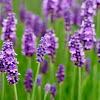 Arti Bunga Lavender Dalam Bahasa Bunga