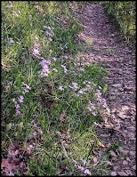 Nice patch of pink Phlox Flowers along the trail.