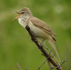 Suara burung Great reed warbler untuk masteran