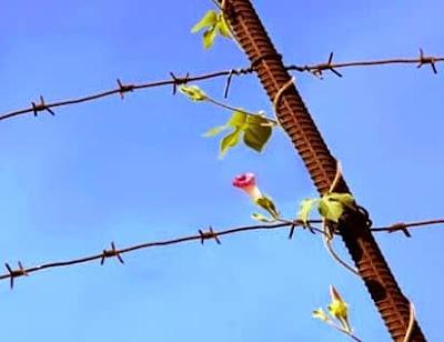 Fiore e filo spinato