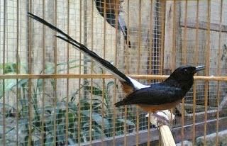 merupakan salah satu jenis burung peliharaan paling terkenal di Indonesia Mengenal Jenis-Jenis Burung Murai Batu Yang Hidup di Indonesia