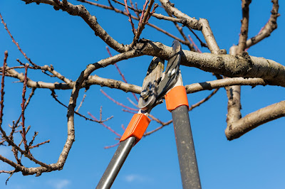 Pic of long shears pruning a tree against blue sky
