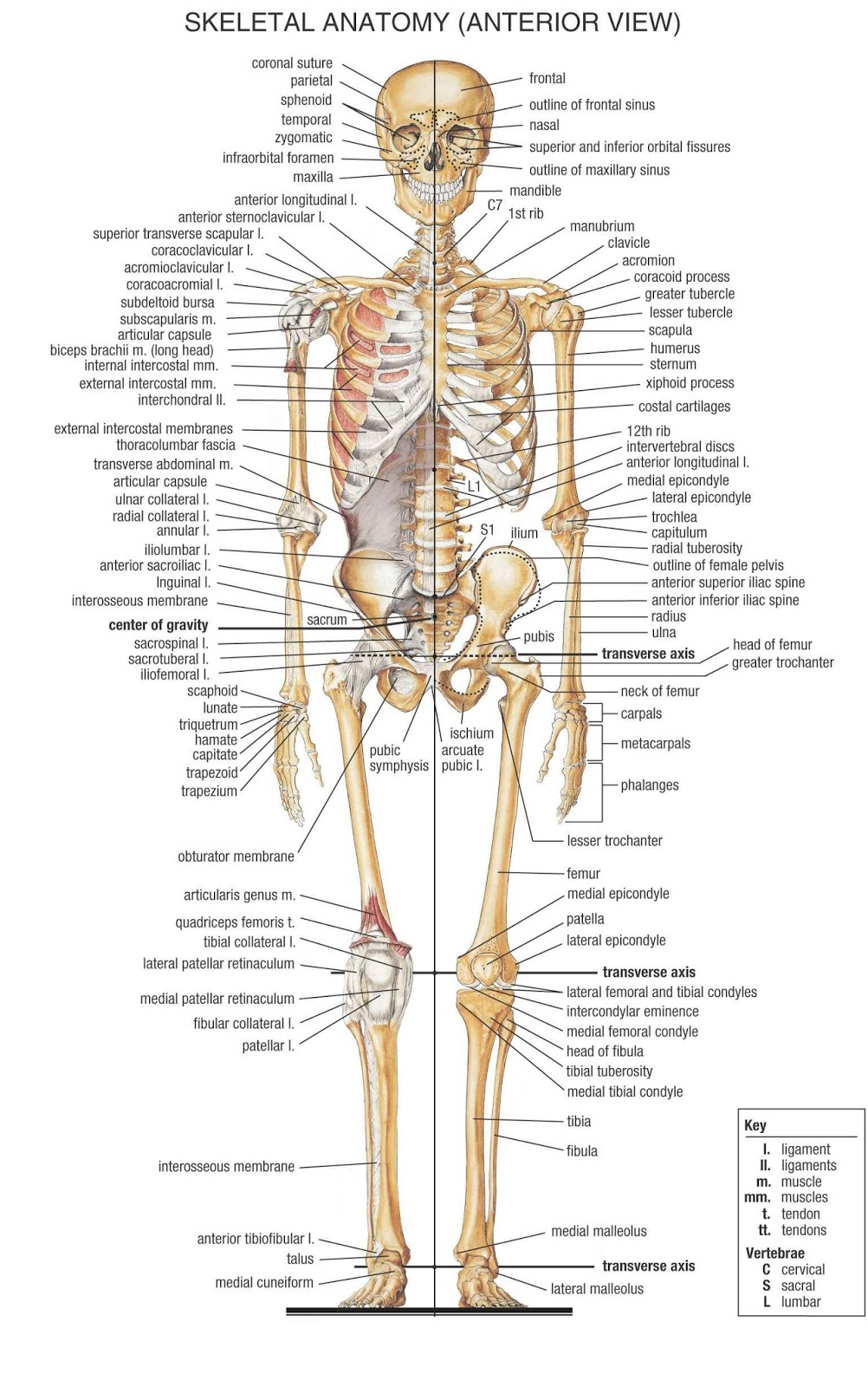 human skeletal system diagram - coordstudenti, Skeleton