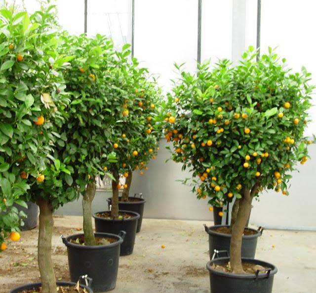 Salah satu pupuk terbaik untuk membasmi hama tanaman jeruk