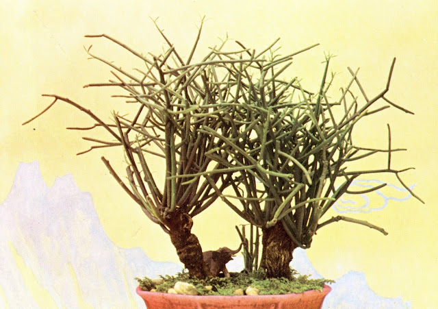 Rameaux Entrelaces - карликовые деревья Вьетнама - старая открытка