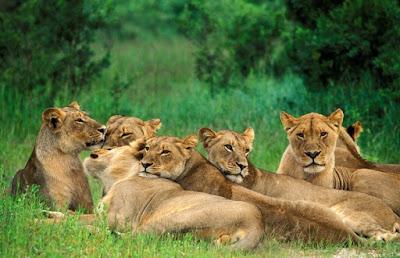 Klasifikasi Panthera leo bleyenberghi