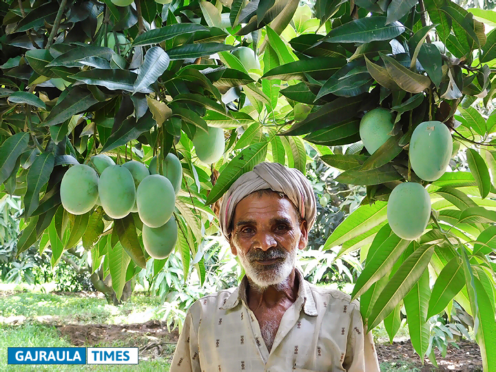 mango-in-amroha
