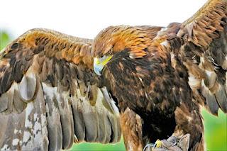 Perbedaan Burung Elang dan Burung Alap-Alap