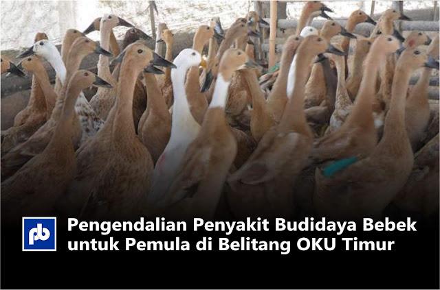 Pengendalian Penyakit Budidaya Bebek untuk Pemula di Belitang OKU Timur