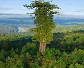 Pohon Neeminah Loggorale Meena – Pohon Blue Gum