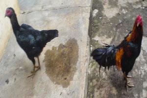 aksi,ayam,kampung