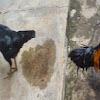 Ayam Kampung Saling Berpunggungan