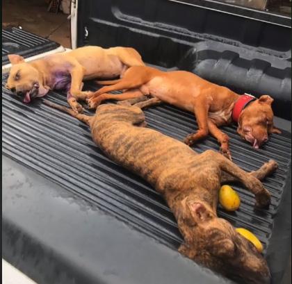 Anápolis: Chacareiro responderá por maus-tratos a dezenas de cães