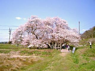 石部桜 / 会津若松市