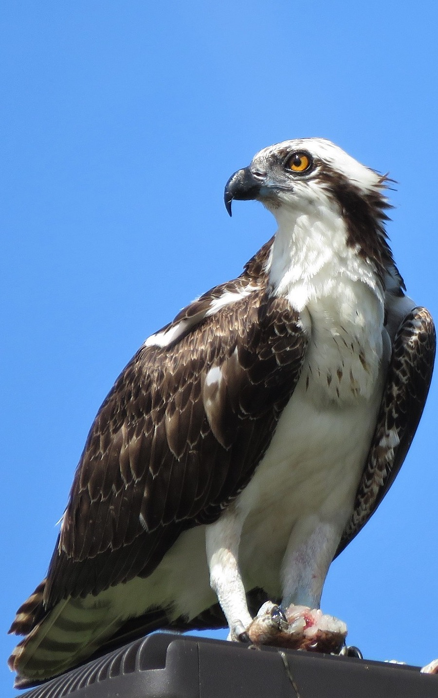Picture of an osprey.