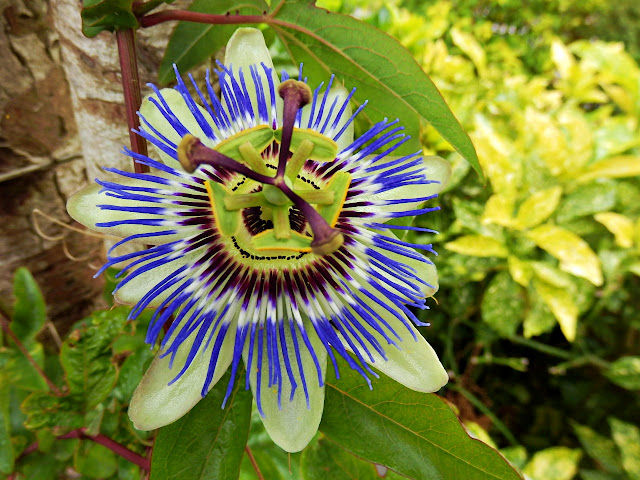 Passion flower, Cornwall