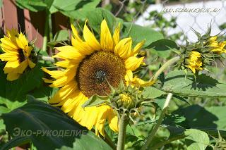 Натуральный природный материал для композиции из сухоцветов подсолнух декоративный