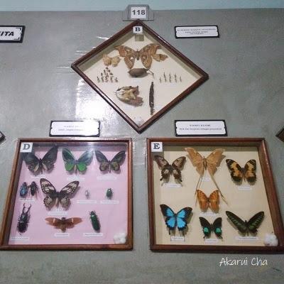 kupu-kupu-di-museum-zoologi