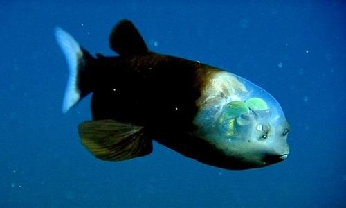 barreleye balığı